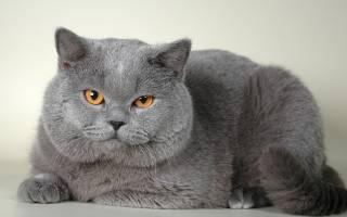 Британские персиковые кошки: особенности