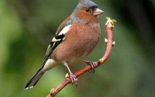 Зяблик – перелетная птица
