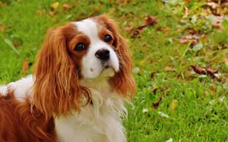 Блошиный дерматит у собак: симптомы, диагностика, лечение