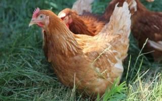 Как определить возраст кур: возраст яйценоскости