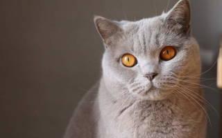 Судороги у кошек: причины, первая помощь