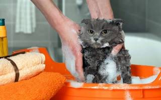 Как часто можно купать кошек