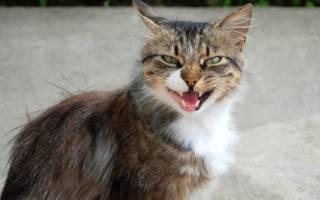 Что делать, если кошка или кот тяжело дышит открытым ртом?
