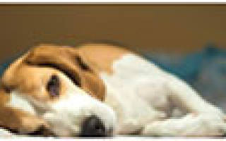 Изоспороз — кишечная инфекция у собак