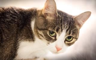 Кошка после родов беспокойная и мяукает: главные причины