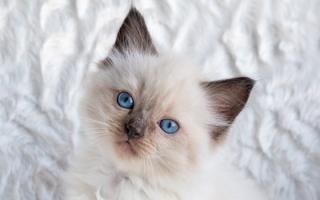 Окрас кошки невская маскарадная – сил пойнт