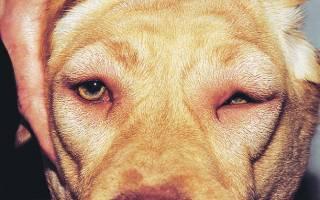 Отек Квинке у кошек: коварный удар из мира аллергенов
