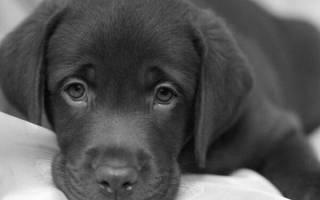 Низкий и повышенный гемоглобин у собаки: причины и помощь