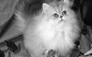 Кошки с оранжевыми глазами