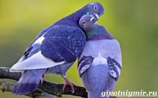 Домашний голубь: особенности поведения