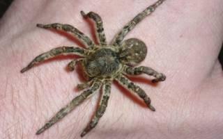 Укус паука тарантула