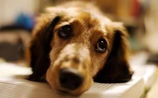 Уколы для собак от чумки