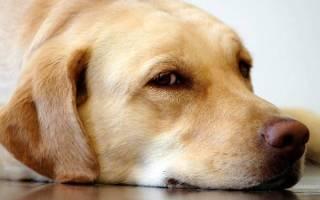 Мастопатия у собак — опасность для жизни любимицы