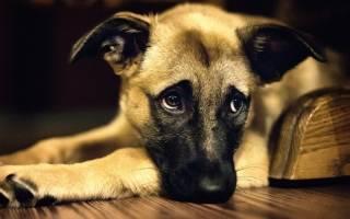 Диатез – признак пищевой аллергии у собак