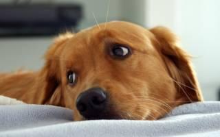 Воспаление поджелудочной железы у собак: главные сведения о заболевании и методах диагностики и лечения