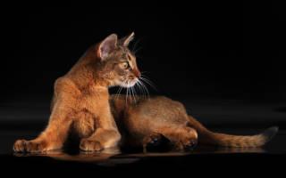 Абиссинская кошка: солнца блик и звезд мерцанье