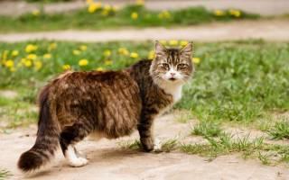 Огуречный цепень (дипилидиоз) у кошек: лечение, симптомы