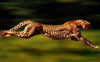 Скорость антилопы