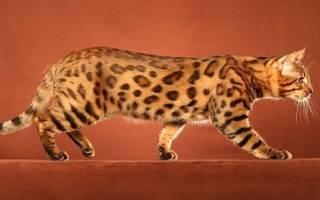 Уссурийская кошка: полосатый эксклюзив