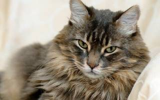 Малассезия (грибок) у кошек: основные проявления и методы лечения
