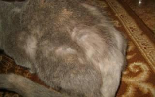 Авитаминоз у кошек: симптомы