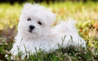 Породы мальтийских собак