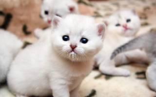 Кошачье молоко: состав и заменители