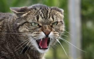 Почему кошка прижимает уши: наблюдаем и изучаем поведение питомца