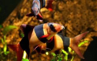Рыбки боции: боция карликовая