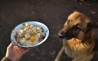 Как и чем кормить взрослую Немецкую овчарку. Подробно о правильном питании