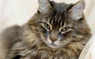 Грибок у кошек: симптомы, профилактика и лечение
