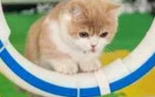 Аджилити для кошек: спорт для активных питомцев