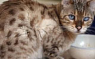 Язва желудка у кошки: симптомы и лечение