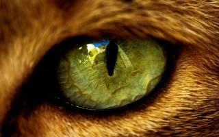 Глисты в глазах у кошек: причины, пути проникновения, лечение и профилактика