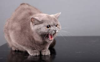 После кастрации кот стал агрессивным: причины, о которых вы не знали