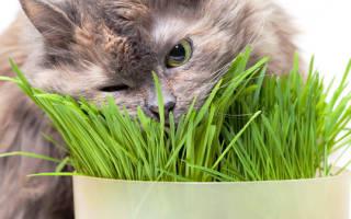 Как вырастить травку для кошек