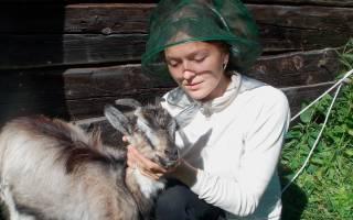 Коза в домашних условиях: плюсы и минусы