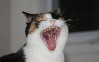Зубной камень у кошек — признаки и способы лечения