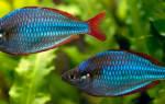 Рыбки радужницы: неоновая радужница