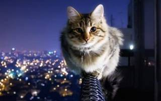 Почему у кошки девять жизней?