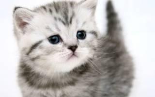 Как выбрать британского котенка