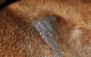 Черный акантоз у собак: лечение