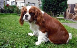 Лептоспироз у собак опасен и для животного и для владельца!