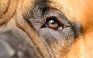 Конъюнктивит у собак: виды, симптомы, лечение (капли, мази, антибиотики)