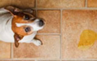 Почему собака часто писает