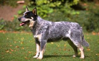 Самые здоровые породы собак