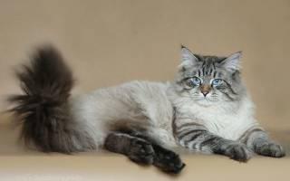 Невская маскарадная порода кошек: бриллиант отечественной фелинологии
