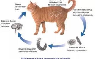 Как давать глистогонное кошке