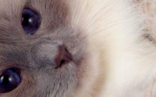 Кастрация кота в 2 года — возраст оптимальный и безопасный