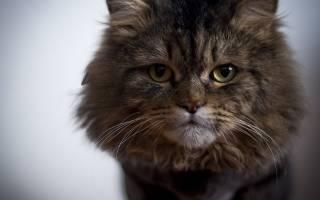 Золотистый стафилококк у кошек: диагностика, лечение